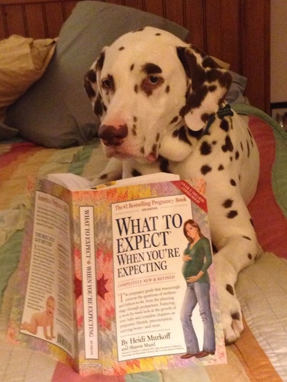 Dalmation reading a pregnancy book.