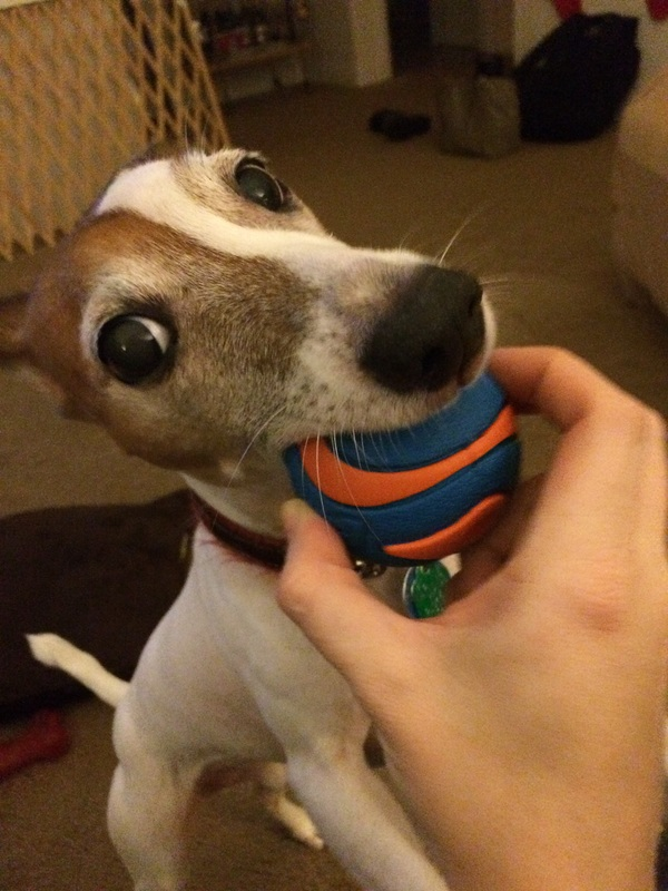 Jack Russell with a ball.